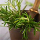 The Smart Scent of Rosemary