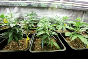 Cannabis bone fractures