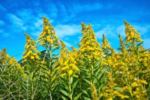 Ragweed allergen