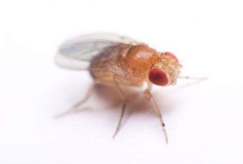 Radiation increases life-expectancy of fruit flies
