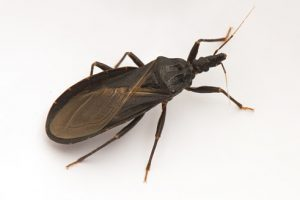 Triatomine bug responsible for deadly Chagas infection in America