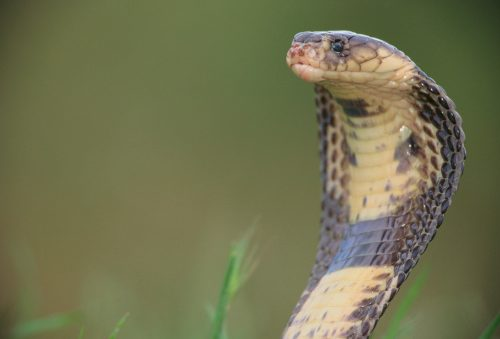For patients on blood thinners, snake venom could improve surgery