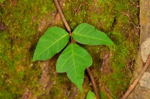 Poison ivy rash affects some people more due to poor handling