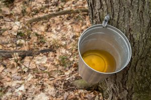 Pure maple syrup shows promise for dementia prevention