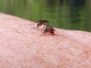 Zika virus can be controlled by changes in mosquito mating