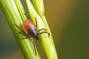 Tick-borne illnesses, Lyme disease