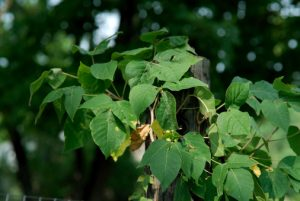 Tips to protect yourself from poison ivy, oak, and sumac