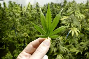Alzheimer's disease linked to marijuana use, low blood flow to the brain recorded: Study