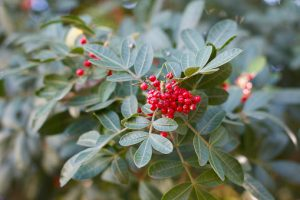 Brazilian-peppertree-may-help-fight-antibiotic-resistant-bacteria