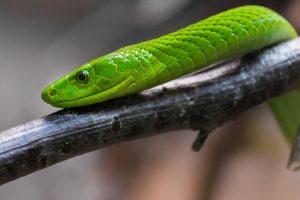 snake venom peptide