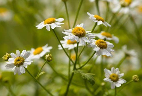 daisy cancer