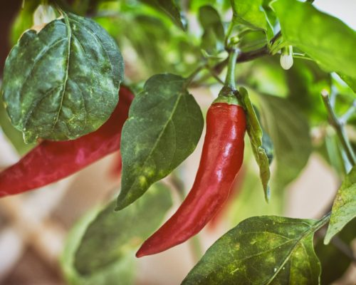 chili peppers cognitive decline