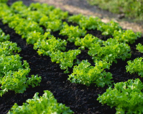 Vegetable garden from farmers without farmers Concept of vegetable garden,kitchen and non-toxic food