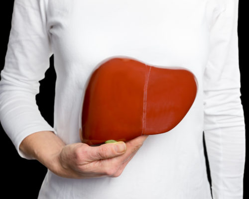 Woman holding model human liver at white body isolated on black background. This artificial organ model is used for education in high school to learn students about biology. They learn about the human body and how our livers work. Our livers help digesting fats from our food.
