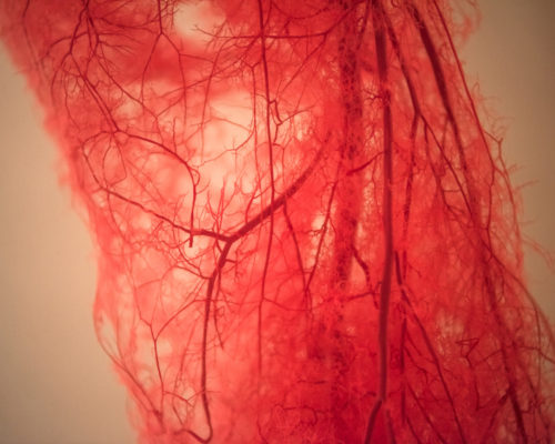 Blood Vessels of human leg
