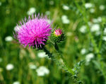 beautiful purple flower of the Thistle blooms in the meadow, narrow focus area