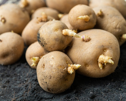 Seed potatoes on the ground.