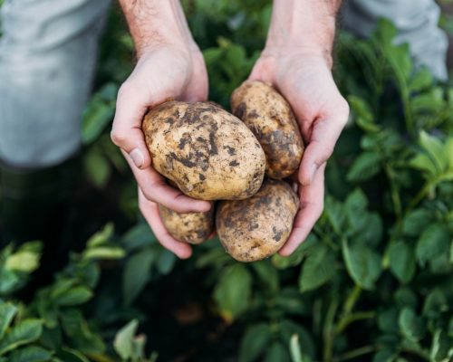 close-up partial view of farmer holding ripe organic potatoes in field